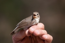 Red-breasted Flycatcher (Ficedula parva, Gobemouche nain)